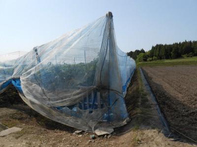 サル・カラス防止用ネットの張られたナシ畑