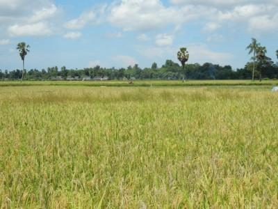 インドネシアの水田